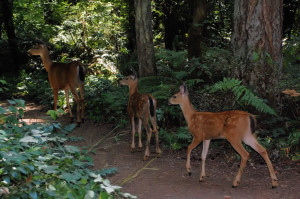 Doe and two fawn, Beaverton, Oregon