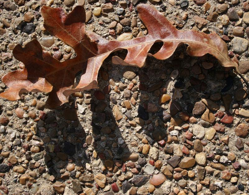 Bur Oak leaf and shadow, dallas, Texas