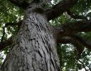 Pecan tree, Raleigh, NC