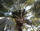 Palm and fruit, southwestern Mexico