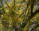 Unidentified large flowering tree, could be Cassia, at a tree nursery in Ajijic, Mexico
