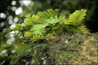 Ferns thrive on the branches of the Angel Oak, supporting smaller life forms.