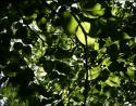 Linden leaves, Coppell, Texas