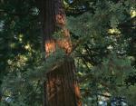 Giant Redwood, John Muir National Forest, California