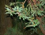 Redwood branches and leaves