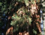 Sequoia trunk and scale-leaves