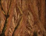 Redwood bark detail
