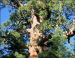 The Giant Sequoia reaches full height in its first 800 years, then continues to add bulk rather than height.