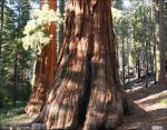 Mariposa Grove, Sequoia National Forest, CA
