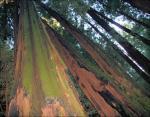 Looking up, John Muir National Forest, California