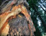 Trunk detail, Redwood