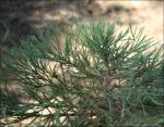 Blue-green Sequoia leaves