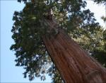 Sequoia grow to heights of 150 to 250 feet and 20 ft. diameter