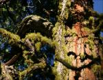 Mossy Sequoia, Mariposa Grove, Sequoia National Forest, CA
