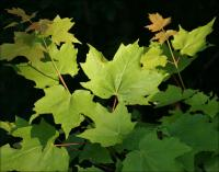 Sugar Maple leaves, Jones Falls, Ontario, Canada
