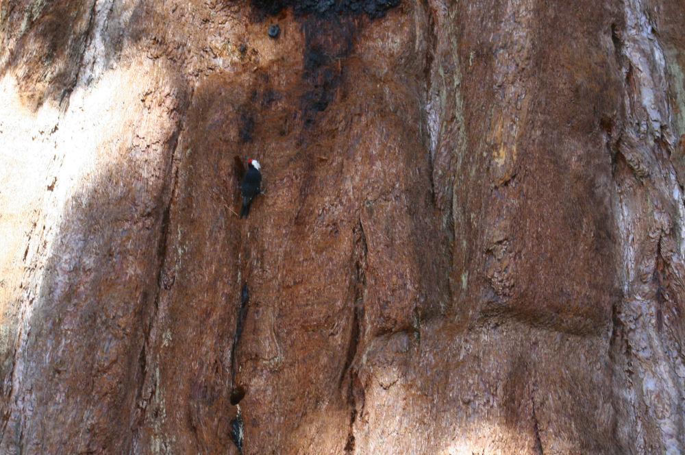 Woodpecker on a giant Sequoia, Mariposa Grove, Ca