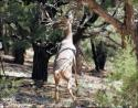 White-tailed deer reaching for new pine shoots, Grand Canyon park area, Arizona