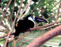 Swainson's Toucan, Dallas World Aquarium, TX