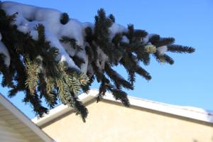 Blue Spruce, Edmonton Alberta