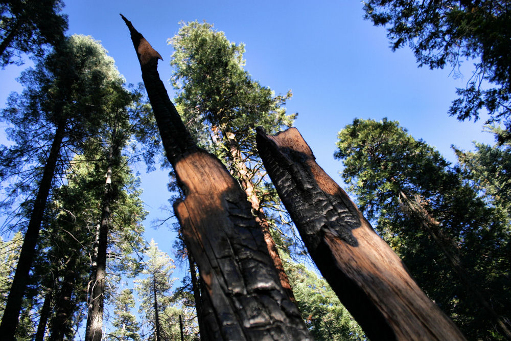 Burnt forest, Sequoia and Kings Canyon National Park, California