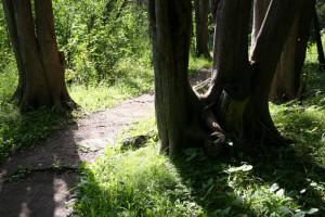 Cedar, Stony Swamp trail, Ottawa, Ontario