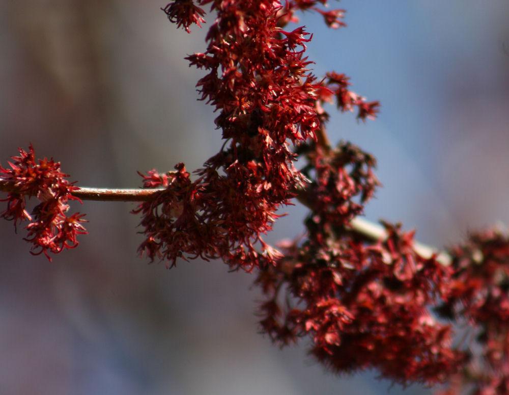 Maple buds, San Antonio, TX
