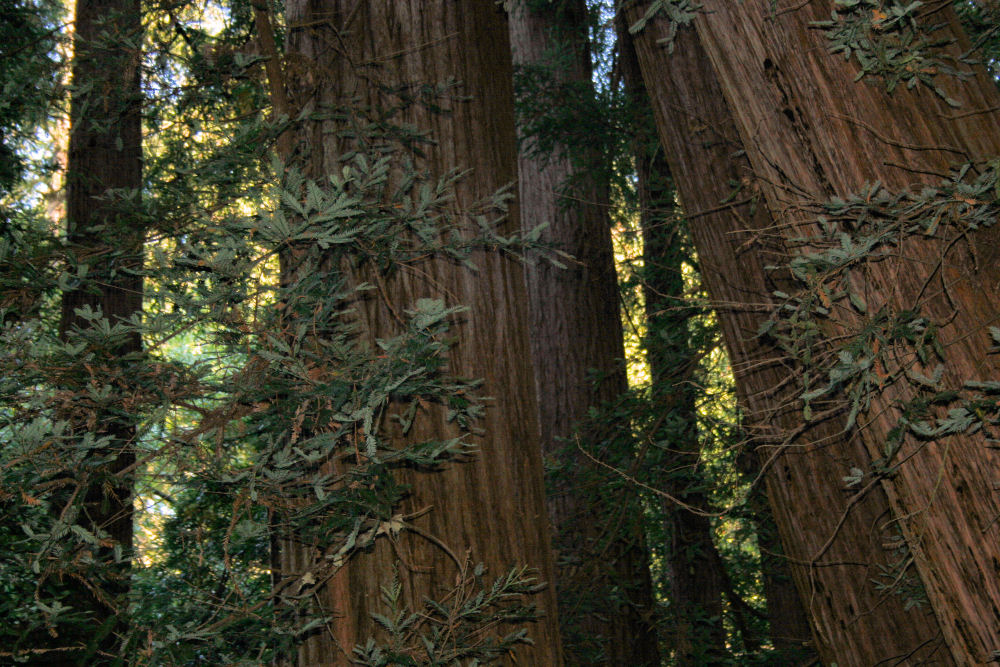 Redwood, General Grant Cove, Kings Canyon National Park, Ca