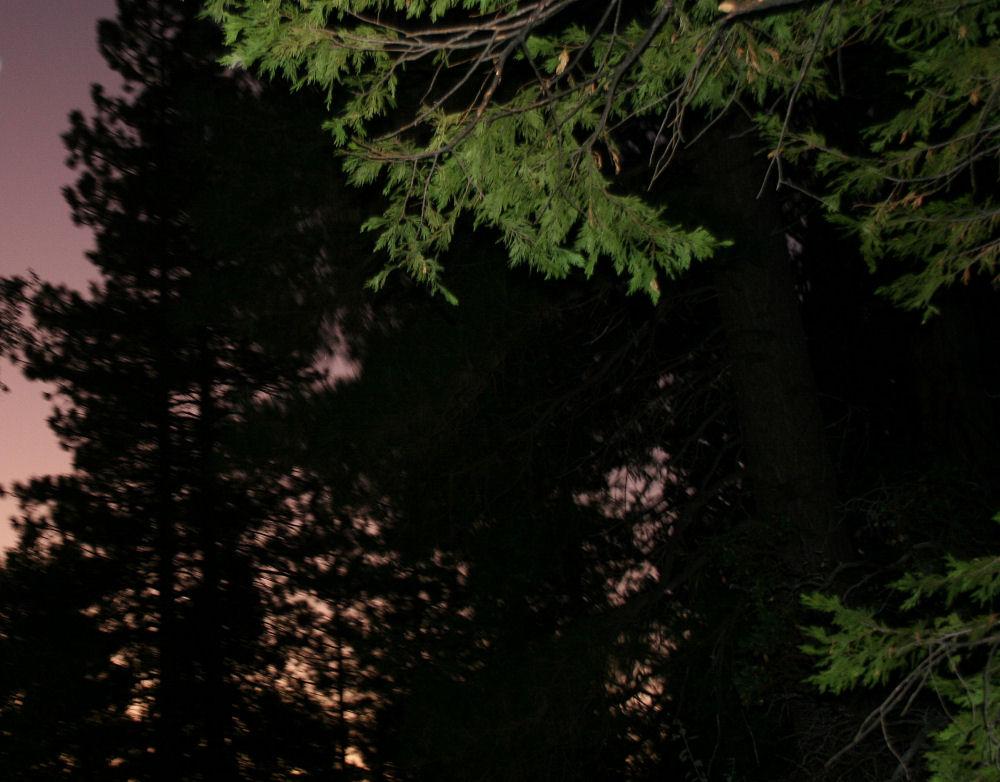 Cedar, Mariposa Grove, Sequoia National Forest, Yosemite, California