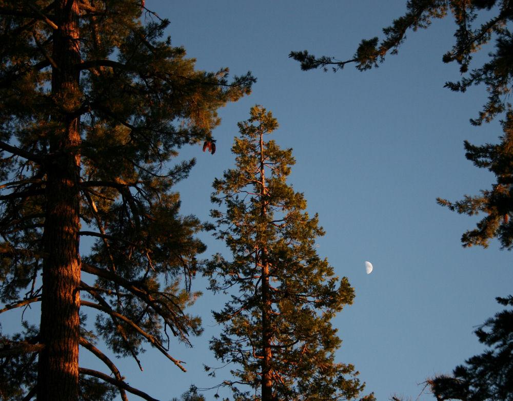 Ponderosa Pine, Redwood National Park  7:41 p.m. Oct. 7, 2008