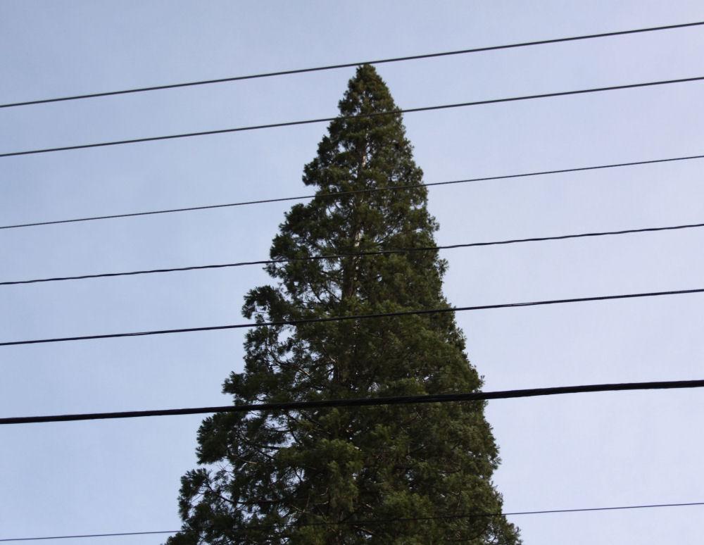 Redwood tree in Aloha, Oregon