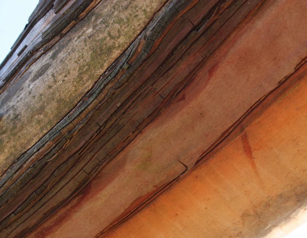 Arbutus bark variation, Mt. Douglas Park, Victoria BC