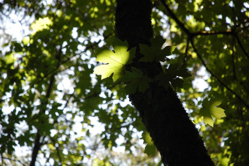Big Leaf Maple, Beaverton, OR