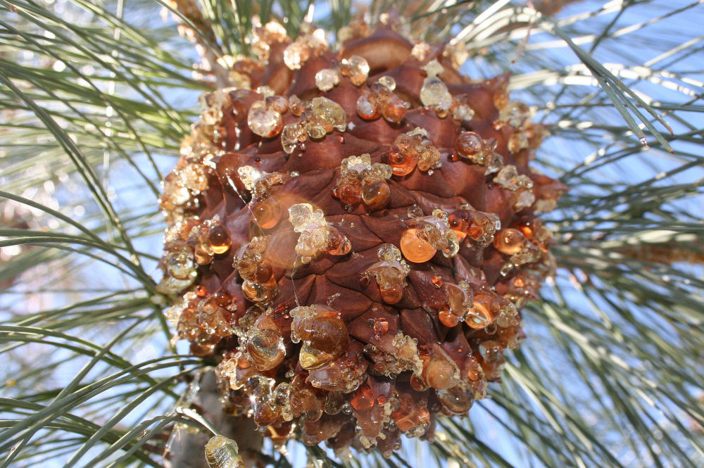 8 x 6 inches Foothills Pine cone, California
