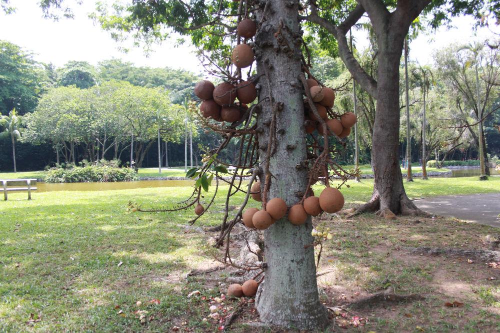 Couroupita Guianensis, East Coast Park, Singapore