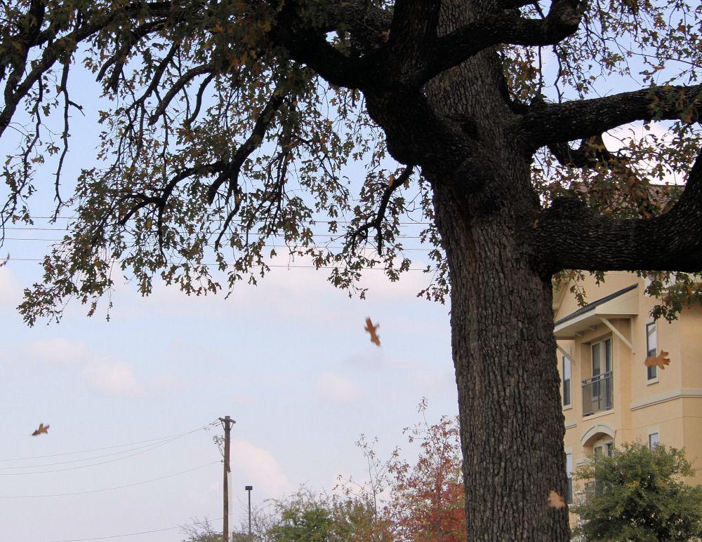 Leaves falling, November in Denton, Texas