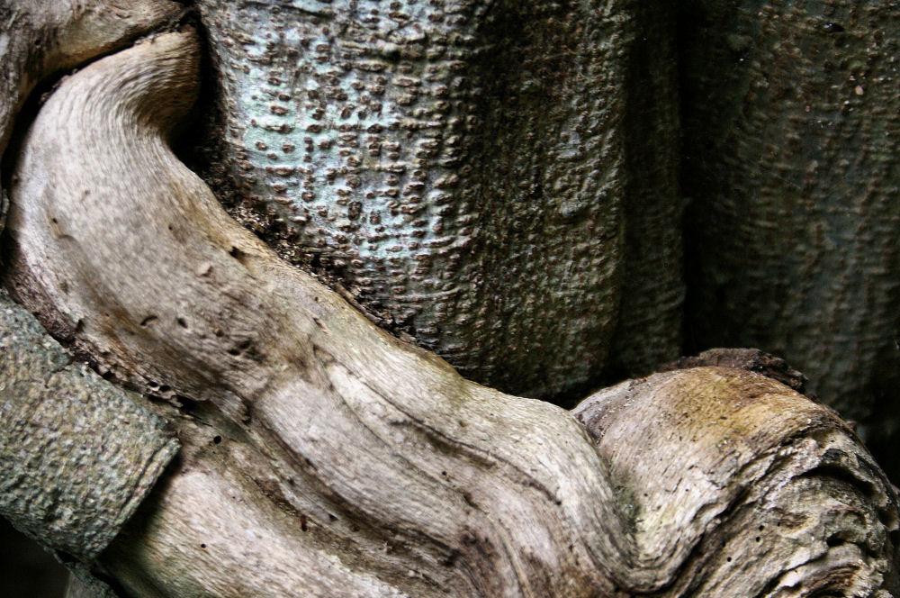 Dead fig vine, Elizabeth Gardens, Manteo, Roanoke Island, North Carolina