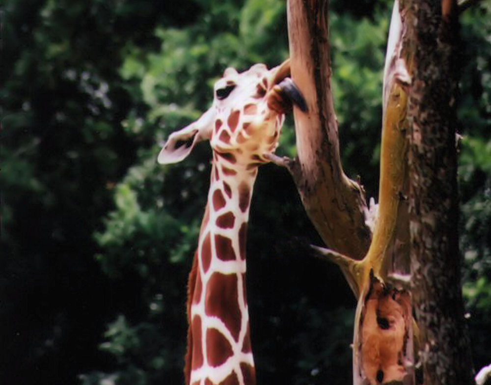 Giraffe, Fossil Rim Wildlife Park, Glen Rose, Texas