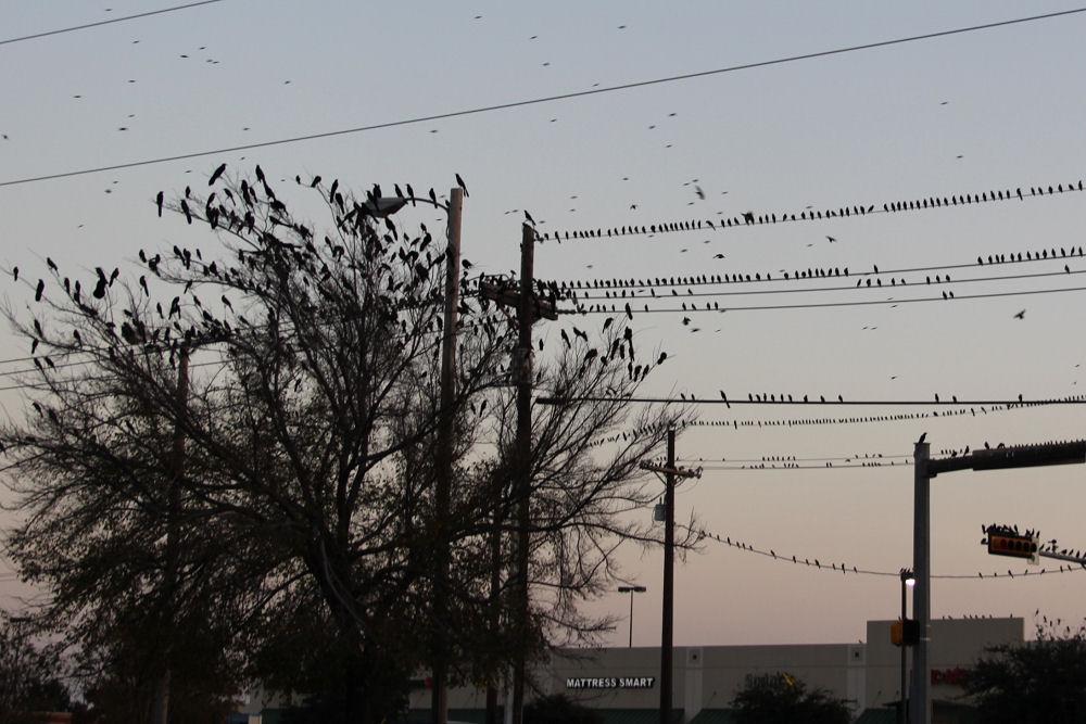 Grackles flock by thousands at sunset, Lewisville TX