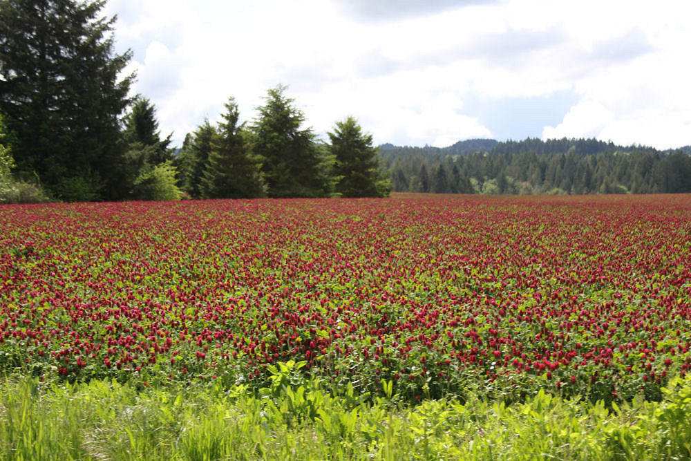 Fields of red clover surrounded by conifers, Springtime, Hillsboro Oregon