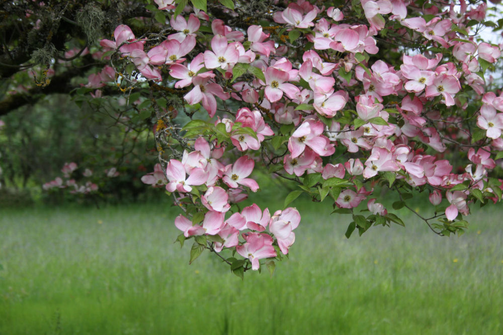 Dogwood, Hillsboro Oregon