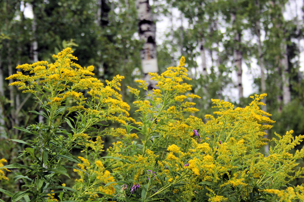 Goldenrod in a  Paper Birch forest, Ouimet Canyon, Ontario