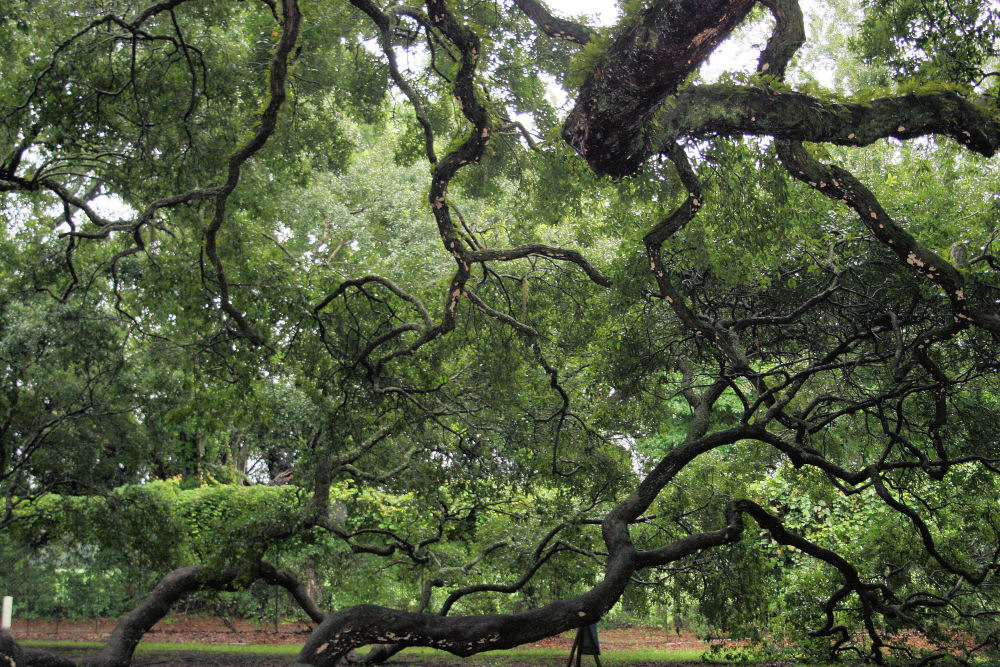 The Angel Oak, St. John Island, South Carolina