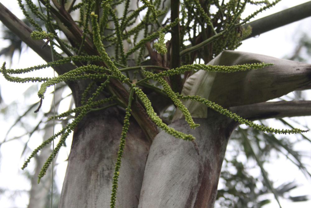 'Pacific Beauty' tree