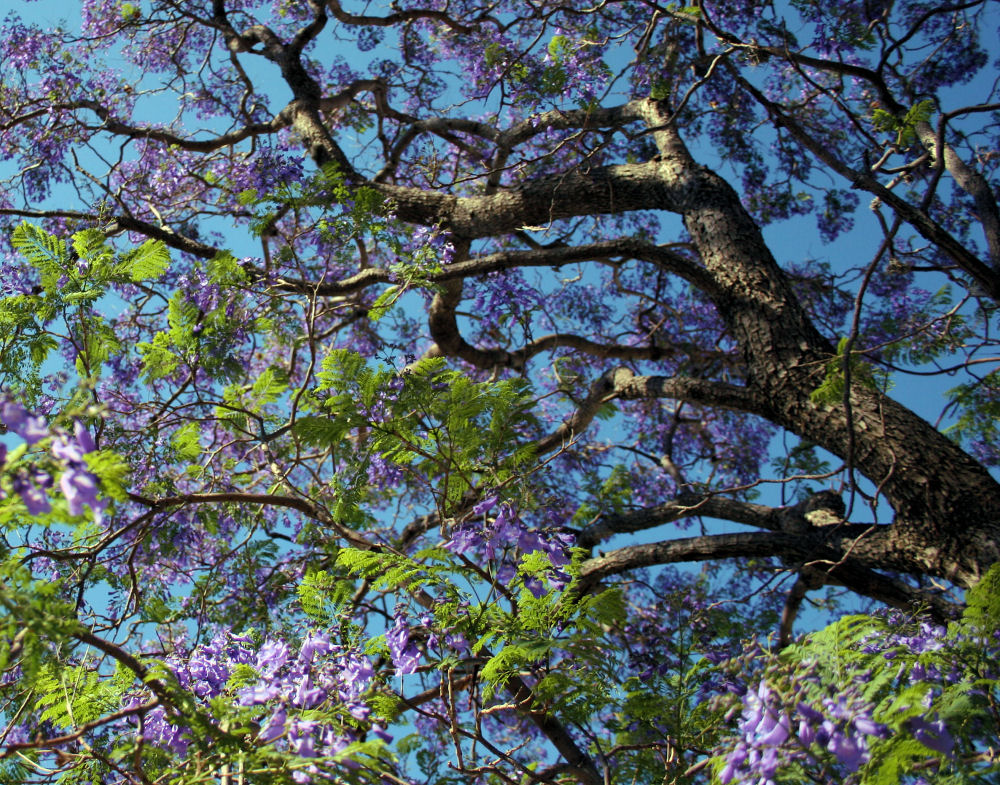 Jacaranda trees in bloom -, April, Ajijic, Mexico