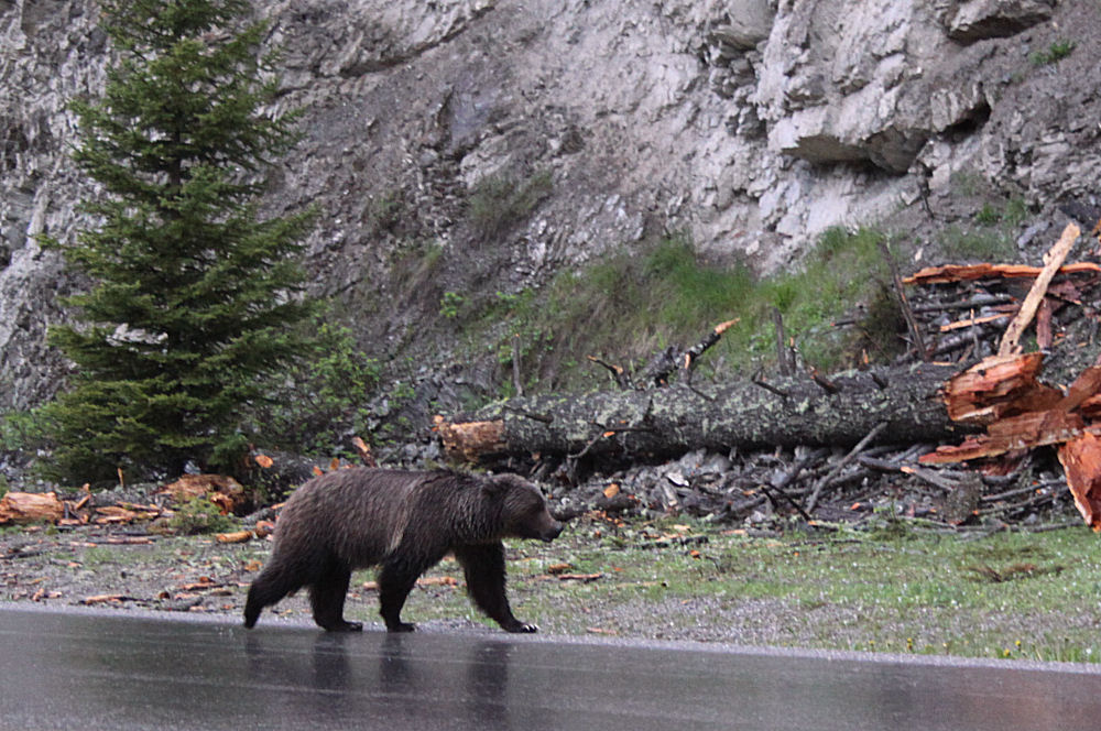 Rainy evening in Kootenay National Park, BC , Grizzly