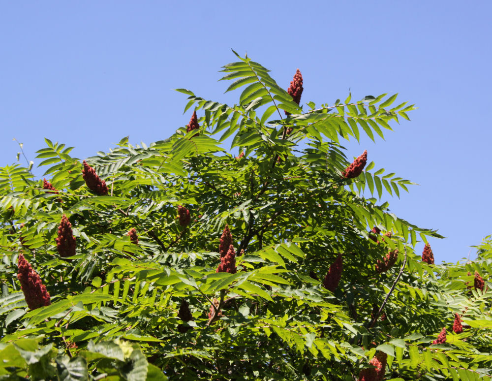Milwaukee, Wisconsin Sumac flowers in June