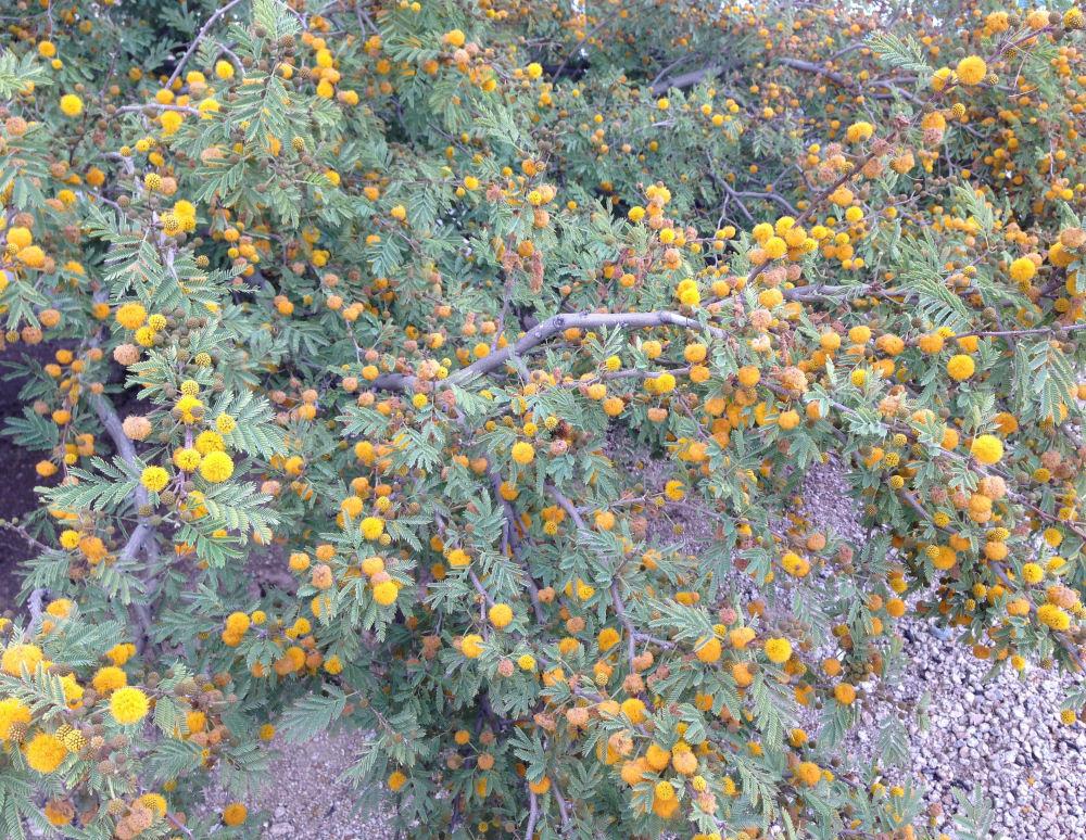 Mimosa, Phoenix Arizona