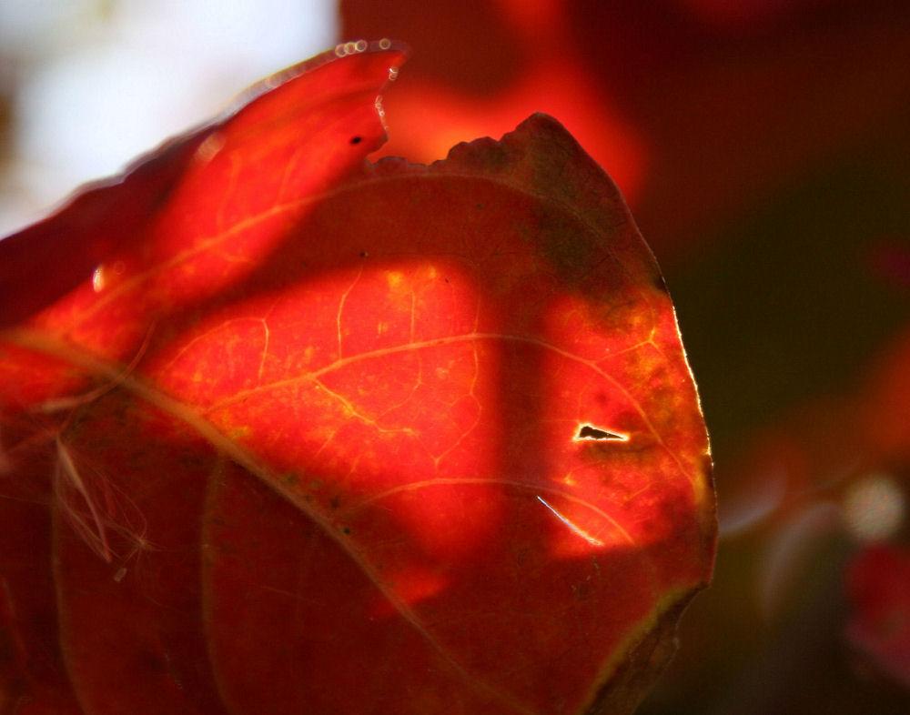 Myrtle leaf, November, Irving, Texas