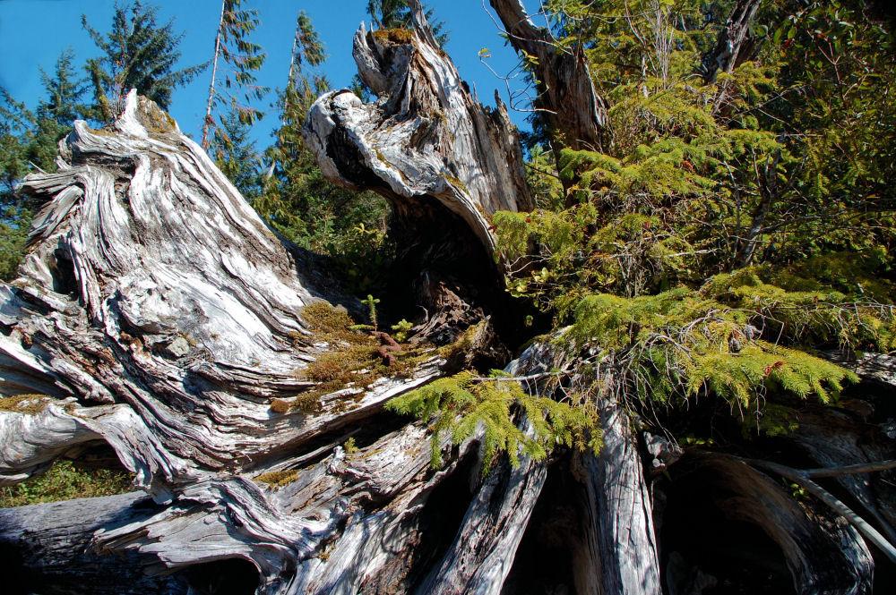 Nimkish Lake, BC - toppled Cedar provides nourishment for new growth