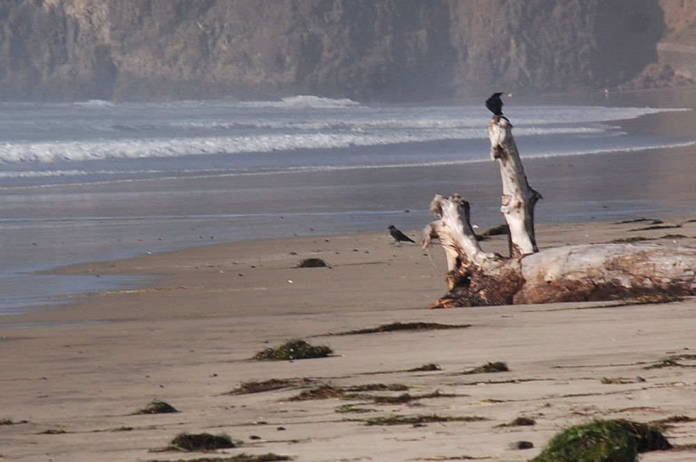 Crows perch on a beached log, Oceanside, Oregon